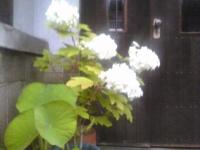 azisai in rain.jpg